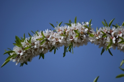Almond Blossom in Provence